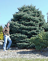 Often thought to be dwarf, Montgomery spruce can grow quite large in only twenty years!