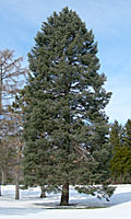 This fifty foot-tall concolor fir can be found in Thornden Park in Syracuse.