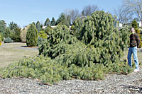 Weeping white pine spread one to two feet per year!