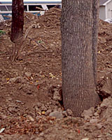 Buried under several feet of fill, these trees will eventually suffocate.