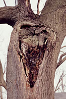 Large areas of decay are a dead giveaway that a tree may be headed toward failure.