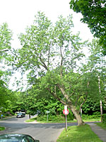 This relatively yound silver maple is already leaning precariously over a busy intersection.