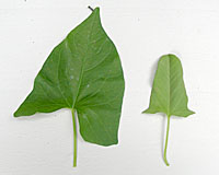 The leaves of hedge bindweed, left, are much larger and have a pointed tip as compared to field bindweed, at right.