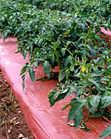 Plastic, newsprint or oat straw mulch can reduce the number of spores that splash onto the lower leaves of tomato transplants.