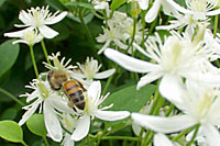 Honeybees flock to the blooms of sweet autumn clematis in September.