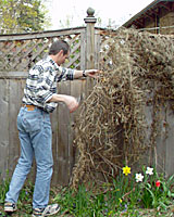 The most difficult part of pruning sweet autumn clematis is disposing of the previous season's growth.